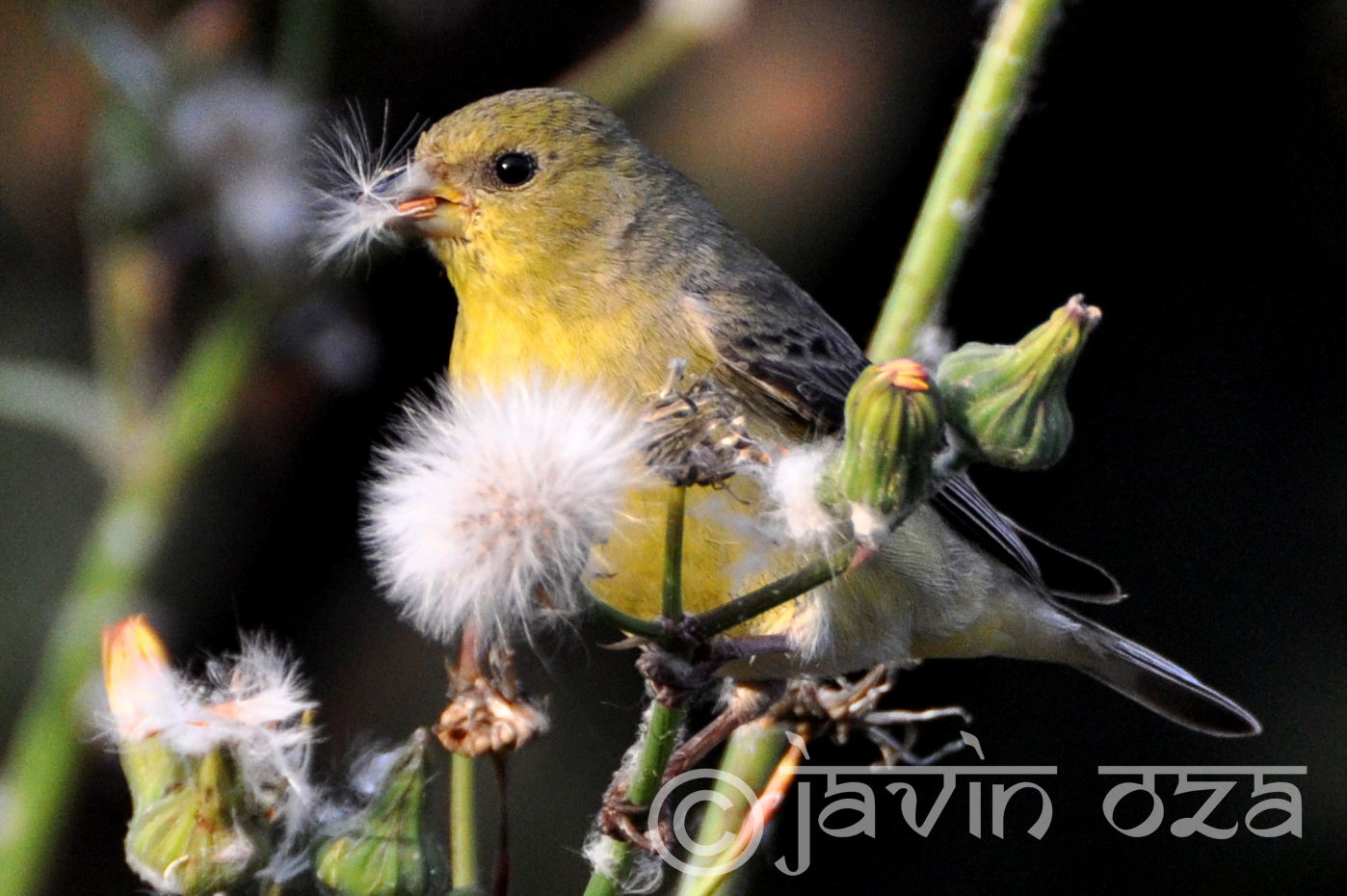 Lesser Goldfinch in Santa Barbara