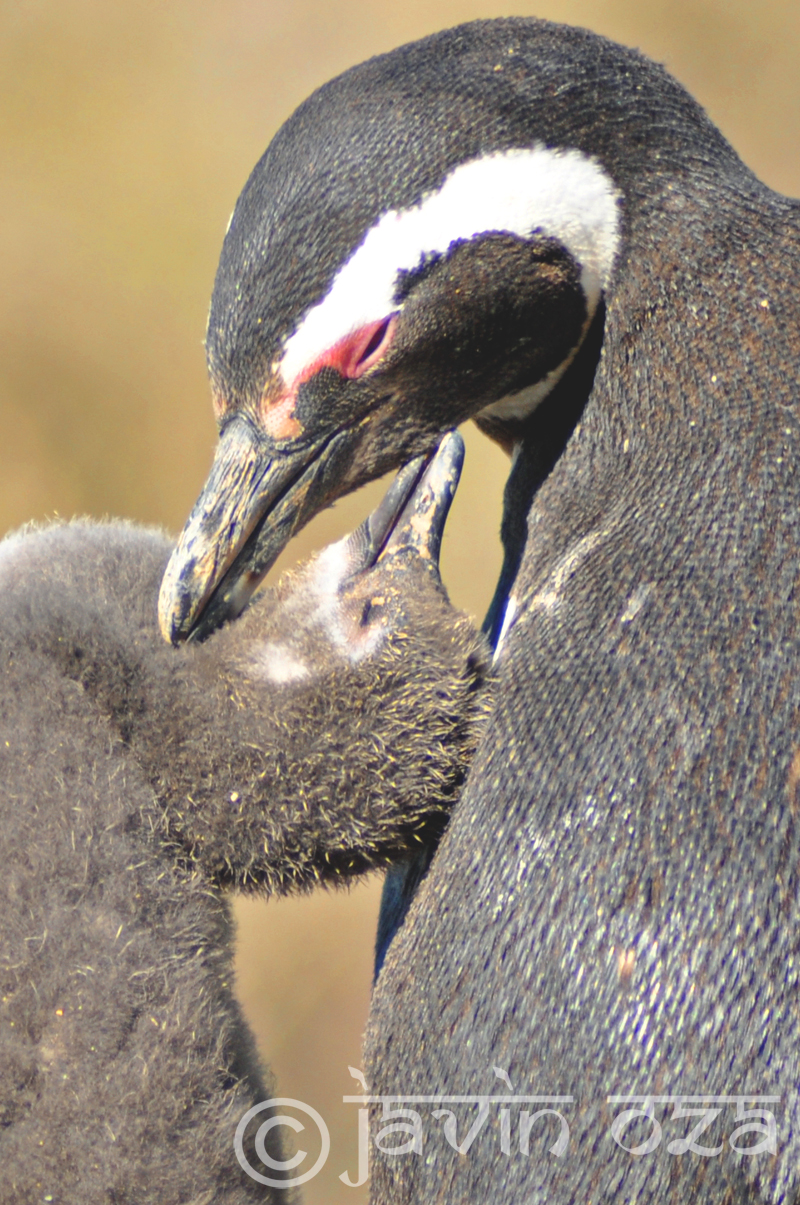 mom and baby penguin