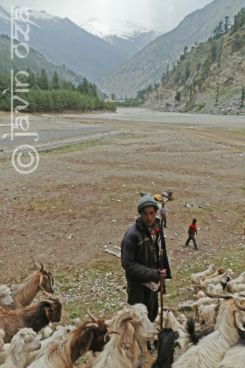 Himalayan goat herder
