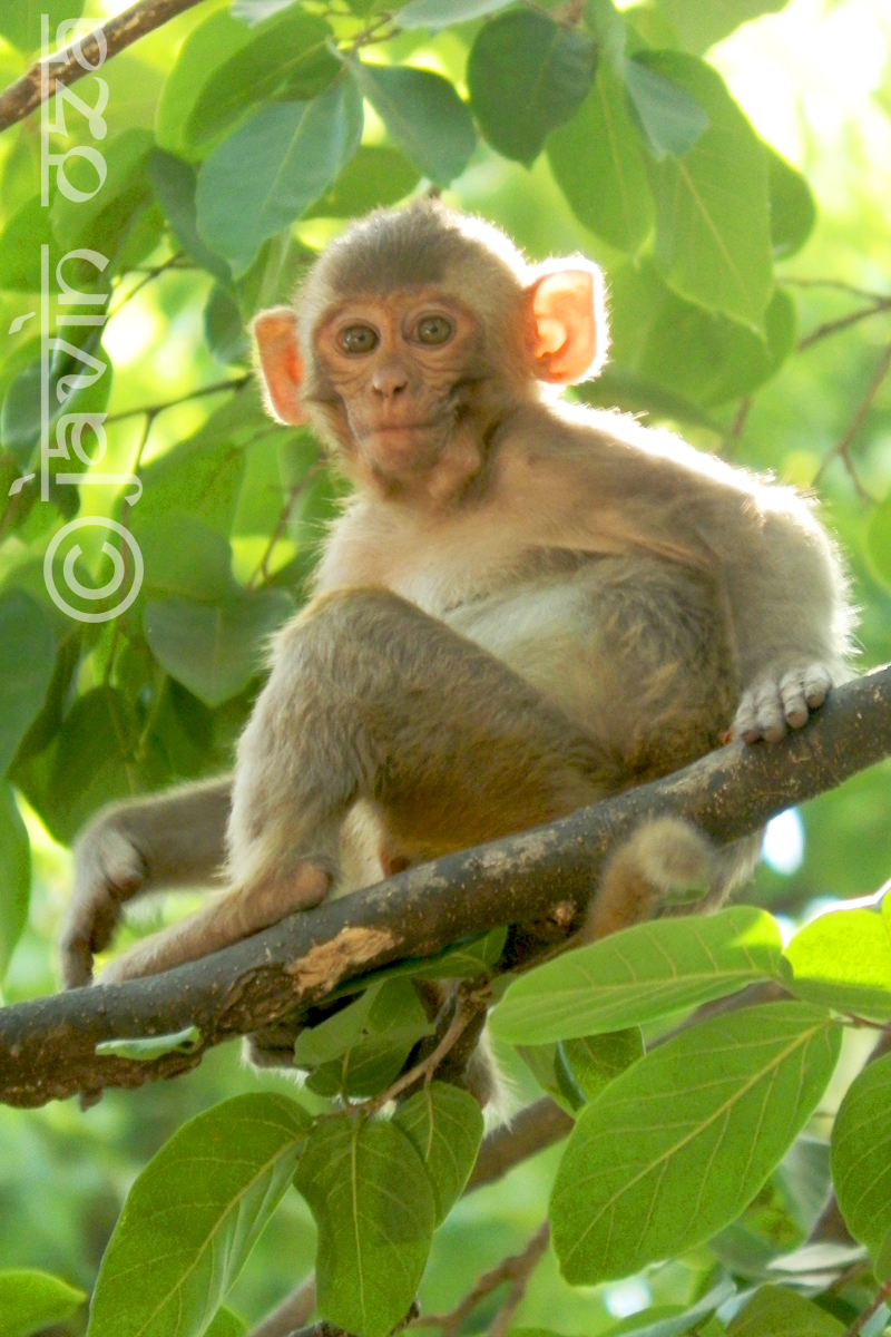 rhesus macaque