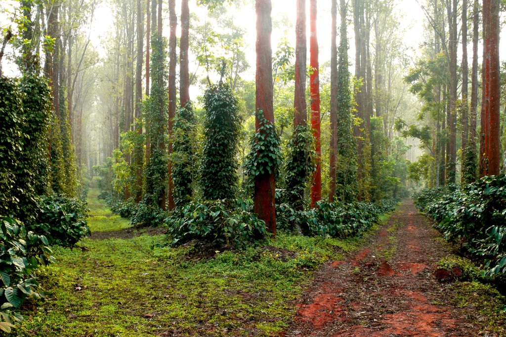 Coffee Plantation, Coorg, India